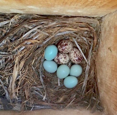 Simms-eggs
