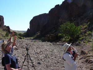 Watching White-throated Swifts in Box Canyon