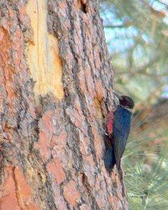 Lewis\'s Woodpecker