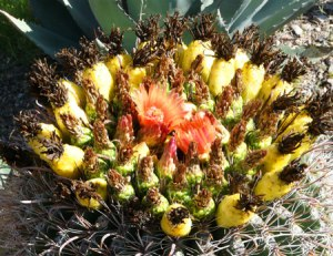 Blooming Barrel Cactus