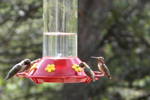 Broad-tailed (l) and Calliope (r) Hummingbirds
