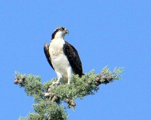 Osprey at Turtle Bay