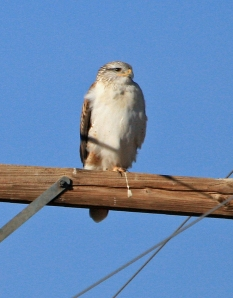 Ferruginous Hawk - Photo by Bonnie Long