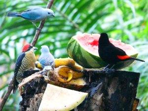 Birds at La Quinta fruit feeder