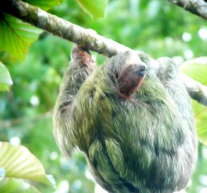 Three-toed Sloth with baby