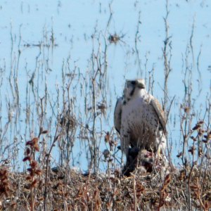 Prairie Falcon with talon on its prey