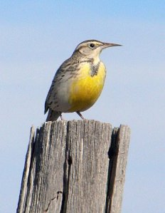 Western Meadowlark - Photo by Ray Reid