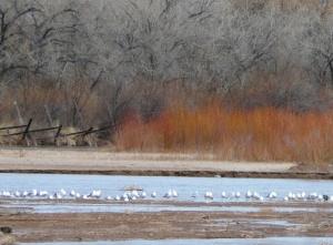Ring-billed Gulls on Rio Grande