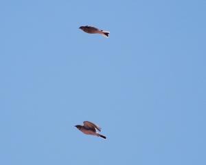 Chestnut-collared Longspur (top) and Horned Lark in flight