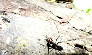 Army Ants on the move