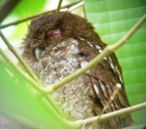 Digiscoped Vermiculated Screech Owl