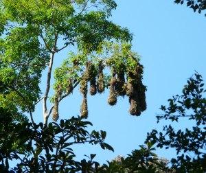 Montezuma Oropendula nests