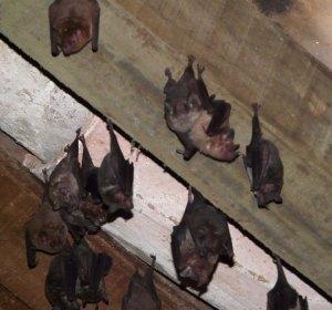 santa-rosa-bats