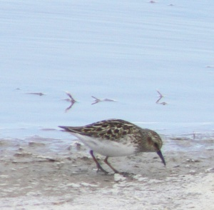 Baird's Sandpiper - Photo by Ray Reid
