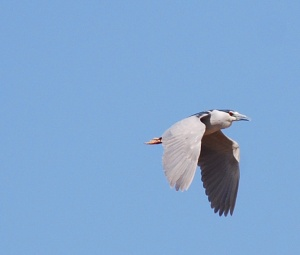 Black-crowned Night Heron - Photo by Rebecca Purvis