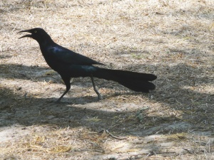 Displaying Great-tailed Grackle