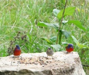 Painted Buntings and White-crowned Sparrow