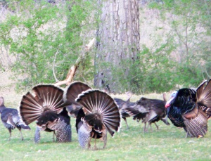 Wild Turkey Courtship Dance