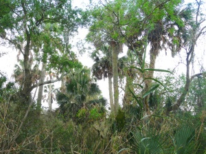 Sabal-Palms-2