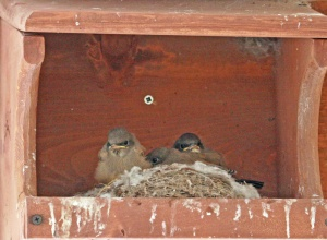 Says's phoebe chicks - photo by Bonnie Long
