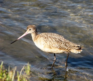 Marbled Godwit - photo by Sue Clasen