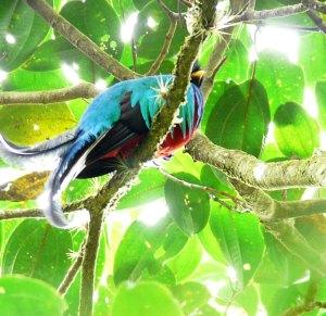 Resplendent Quetzal - Bosque de Paz