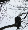Shining-River-Bald-Eagle