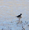 B-d-A-Black-necked-Stilt