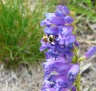 Rocky Mountain Penstemon