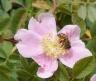 Sepulveda---wild-rose