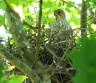 juvenile Cooper's Hawk at police sub-station nest