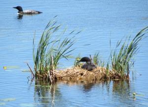 Common Loons nesting - Tamarac NWR