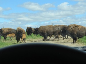 bison herd - Arrowwood NWR