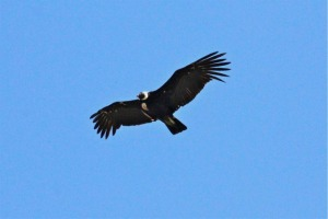male Andean Condor - Photo by Bonnie Long