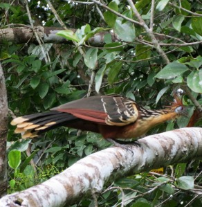 Hoatzin - Napo Wildlife Center