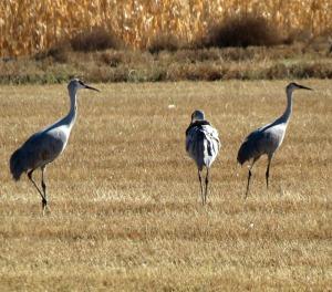 Sandhill Crane family