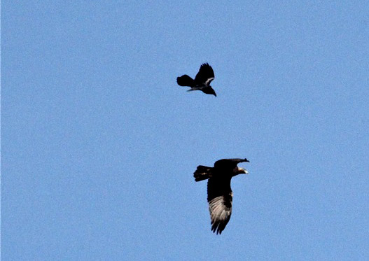 Common Raven harassing Golden Eagle