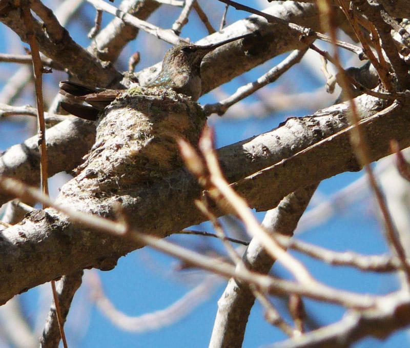 Anna's Hummingbird on nest at Sepulveda Wildlife Area