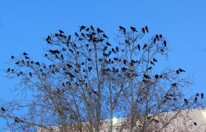 American Crow roost - Coronado Mall, Albuquerque