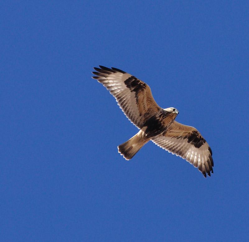 Rough-legged Hawk - photo by Joe Schelling