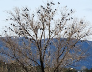 Flock of Pinyon Jays