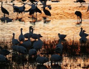 B-d-A-geese---cranes-dusk