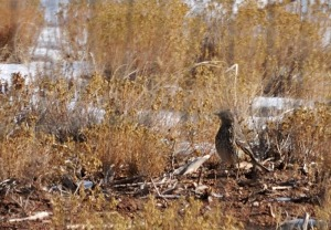 Sage Thrasher - photo by Joe Schelling