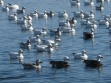 Snow Geese, including dark morphs