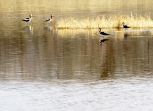 American Avocets and Black-necked Stilts