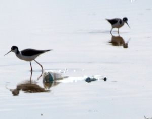 Black-necked Stilt on trash