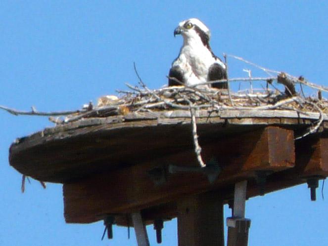 Birds in breeding mode at pena blanca and cochiti lake for Cochiti lake fishing