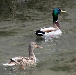 Mallards in courtship display
