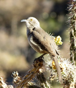 Curve-billed Thrasher singing above nest