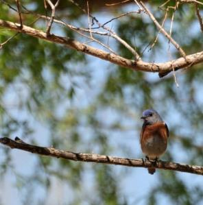 Western Bluebird - Photo by Joe Schelling
